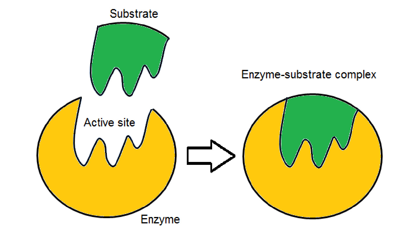 "Figure 2: a biological substrate needs to be of the right symmetry in order to bind well to the active site of an enzyme to activate its function<br> (Source: <a href=""https://riasparklebiochemistry.wordpress.com/2013/03/31/reflection-14lock-key-vs-induced-fit-hypothesis/"" target=""_blank"">https://riasparklebiochemistry.wordpress.com/2013/03/31/reflection-14lock-key-vs-induced-fit-hypothesis/</a>)"