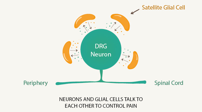 Neurons and glial cells talk to each other to control pain