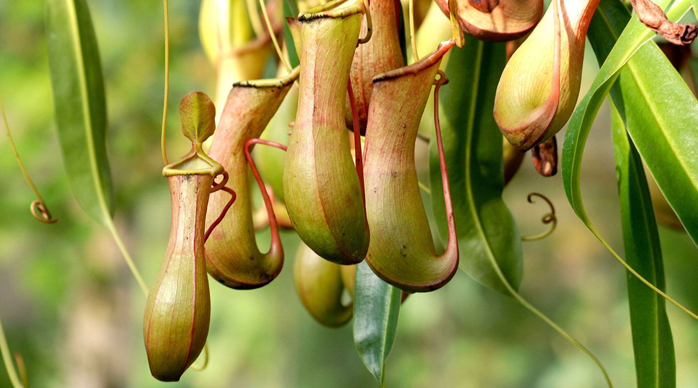SLIPS coating is modelled after the carnivorous pitcher plant
